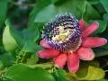 Fiore-urlante-Roberto-Nevola