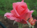 Rosa-dopo-la-pioggia-Amedeo-Schipani