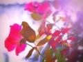 Rosa-purpurea-Roberto-Nevola