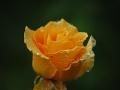 Acqua-di-rosa-R.Nevola