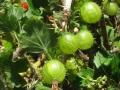 Agro-dolce-B.Caporaletti