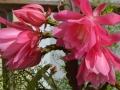 Esplosione-del-cactus-N.Palleschi