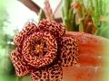 Fiore-succulento-L.Zonetti