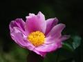 Petali-nellorto-.....-botanico-R.Nevola