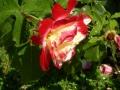 Pianto-di-una-rosa-S.Trovato