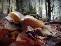 Funghi-su-letto-di-foglie-Luciano-Zonetti