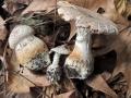 33-Amanita-echinocephala
