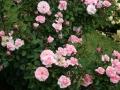 Primo-premio-rose-floribunde