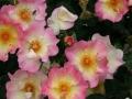 Primo-premio-rose-paesaggistiche-Arbustive-da-parco-1