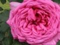 Primo-premio-rose-profumate