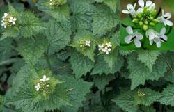 Alliaria petiolata (M. Bieb) Cavara & Grande