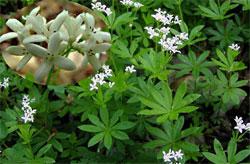 Galium odoratum  L.