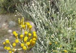 Helichrysum italicum (Roth) G. Don