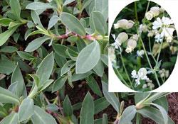 Silene vulgaris Moench/ Garcke