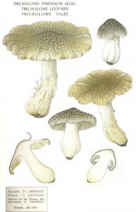 Tricholoma pardinum